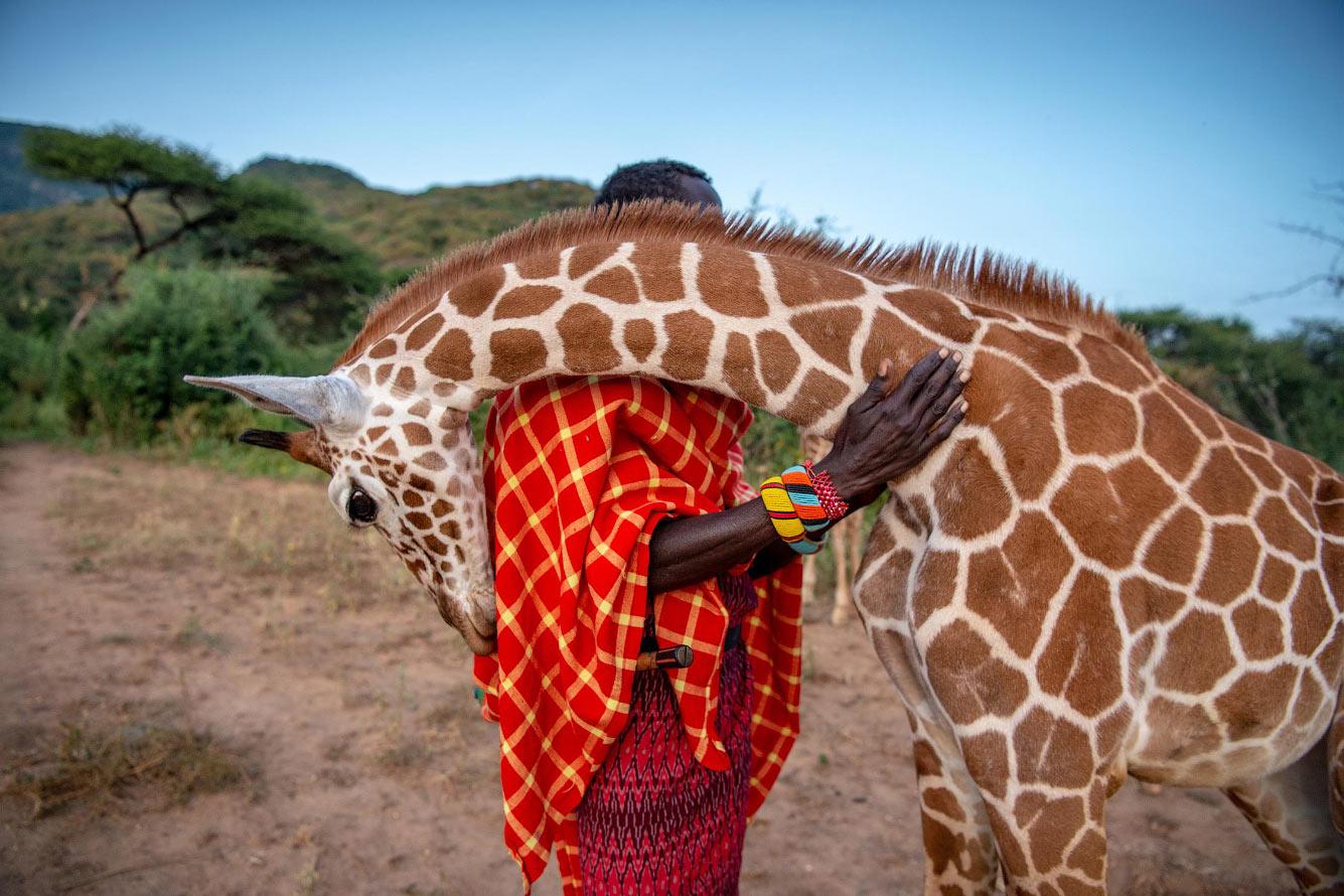 Жираф-сирота и охранник в лагере Сарара в Кении