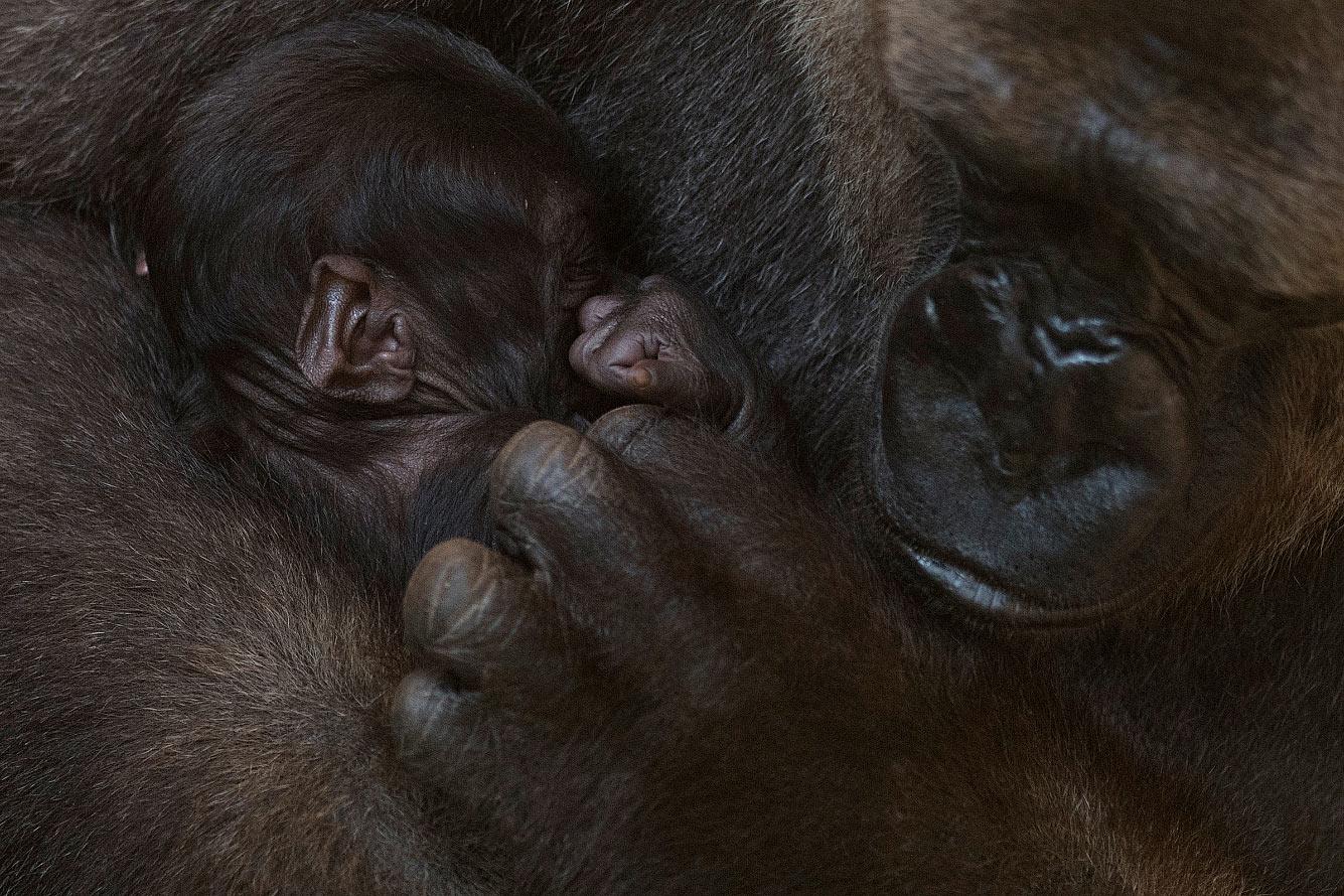 Семья горилл в Биопарке в Фуэнхироле