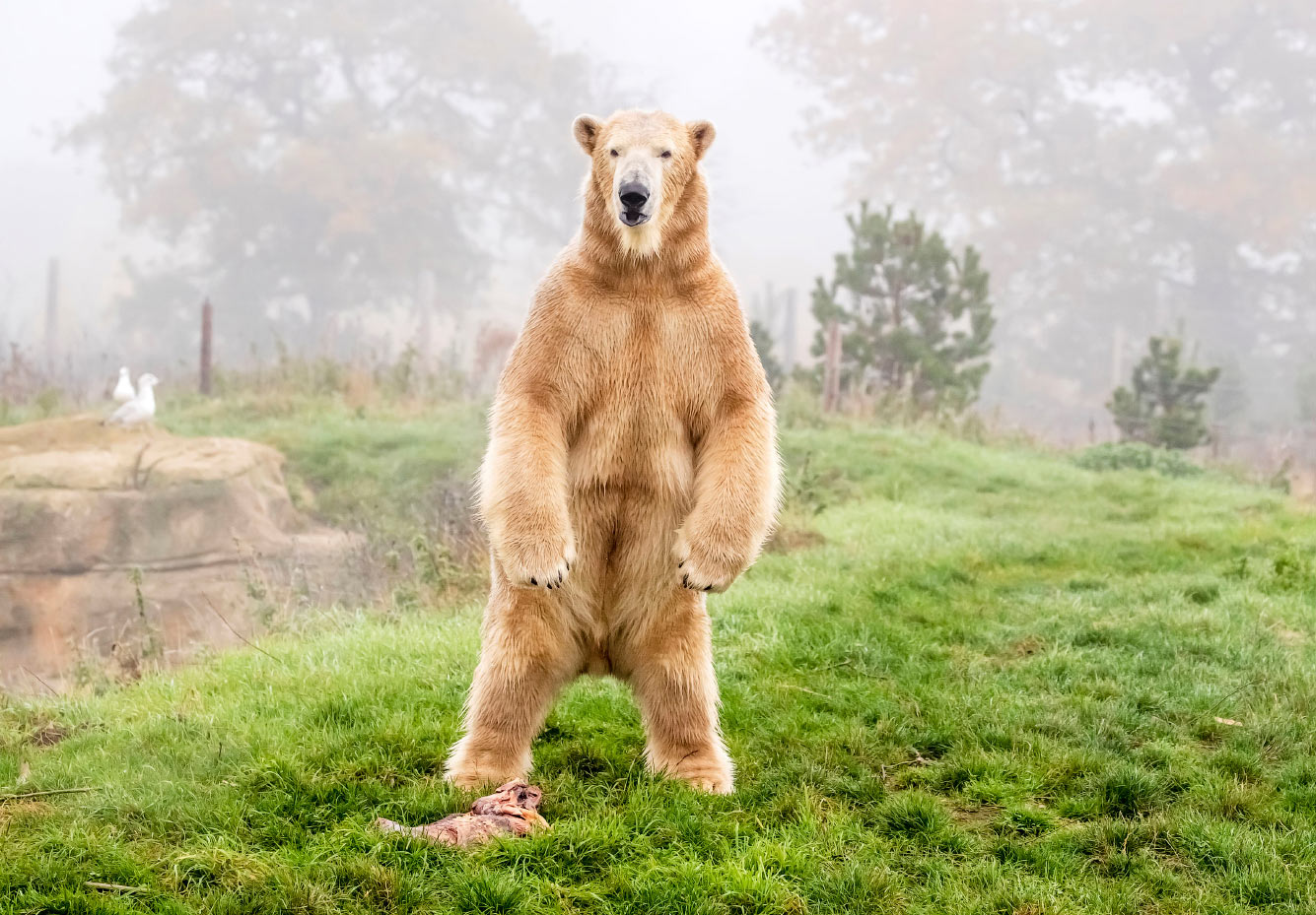 Белый медведь Хэмиш