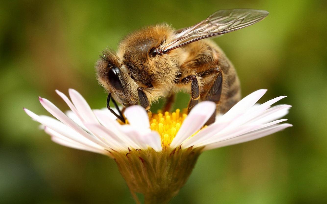Как пьянеют пчелы