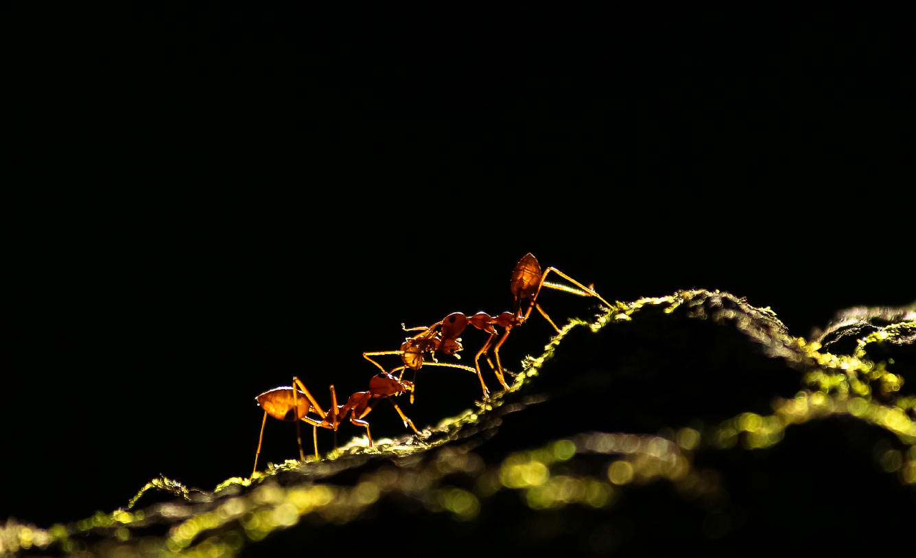 Борьба муравьев