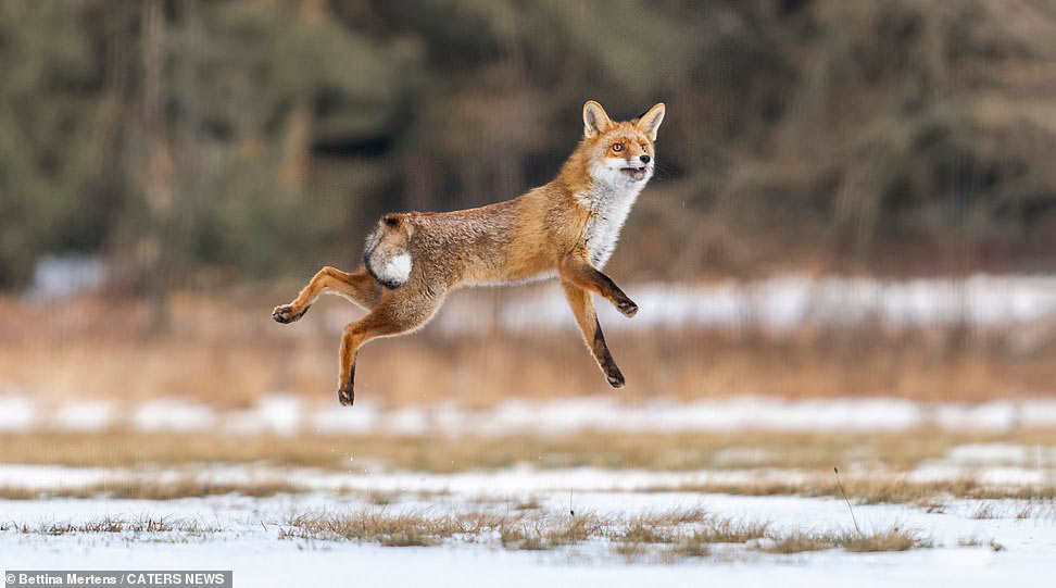 Прыгающая лиса