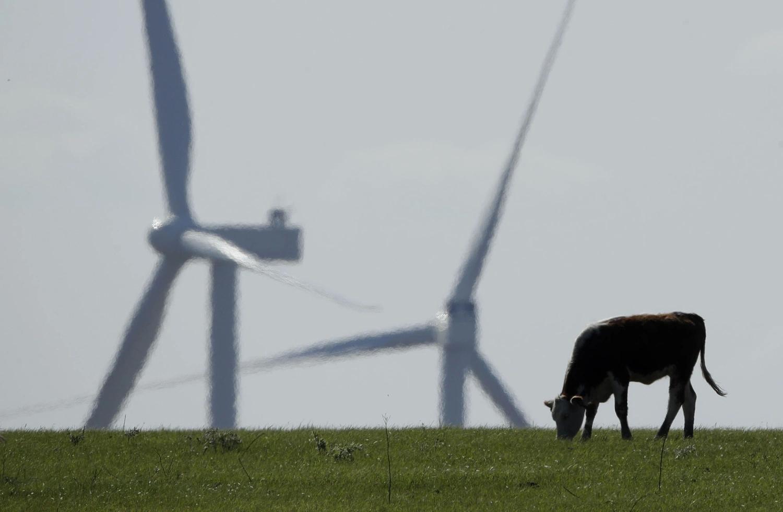 Коровы и ветряки