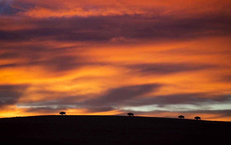 Бизоны в заповеднике Максвелл в центре Канзаса