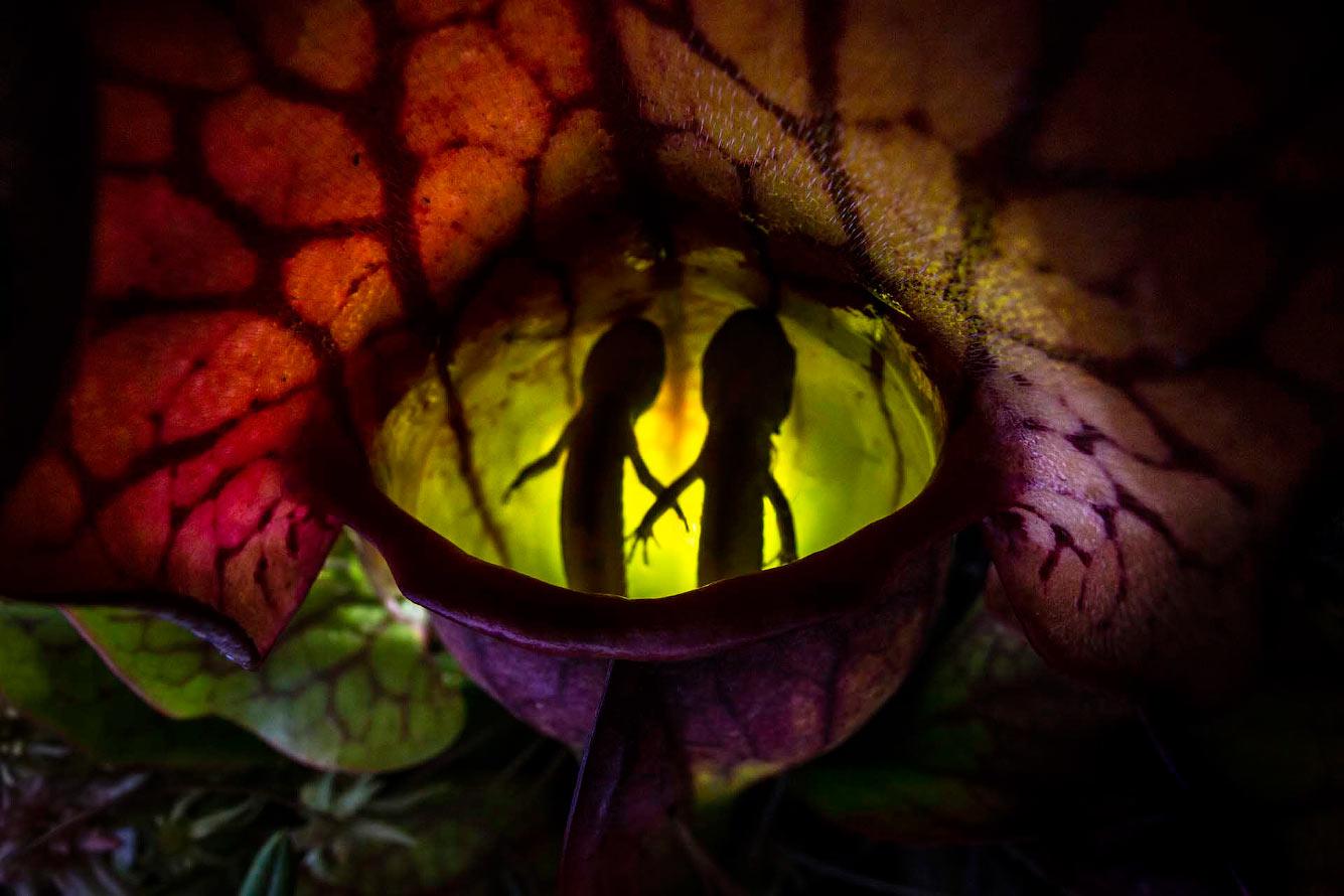 Вене́рина мухоло́вка — вид хищных растений