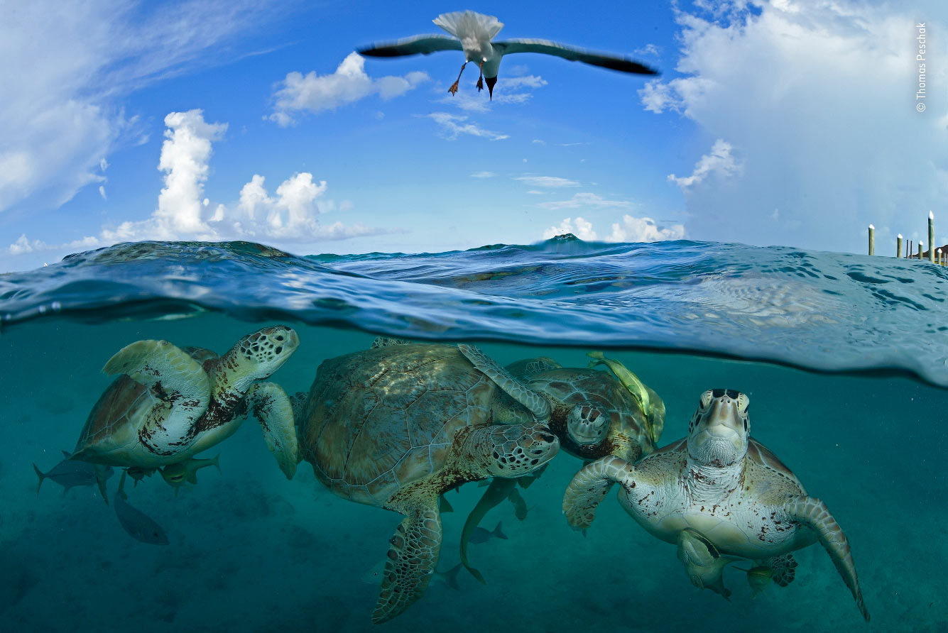Группа зеленых черепах