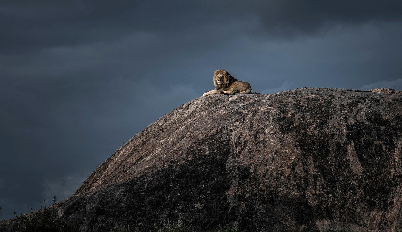 Лев оглядывает владения