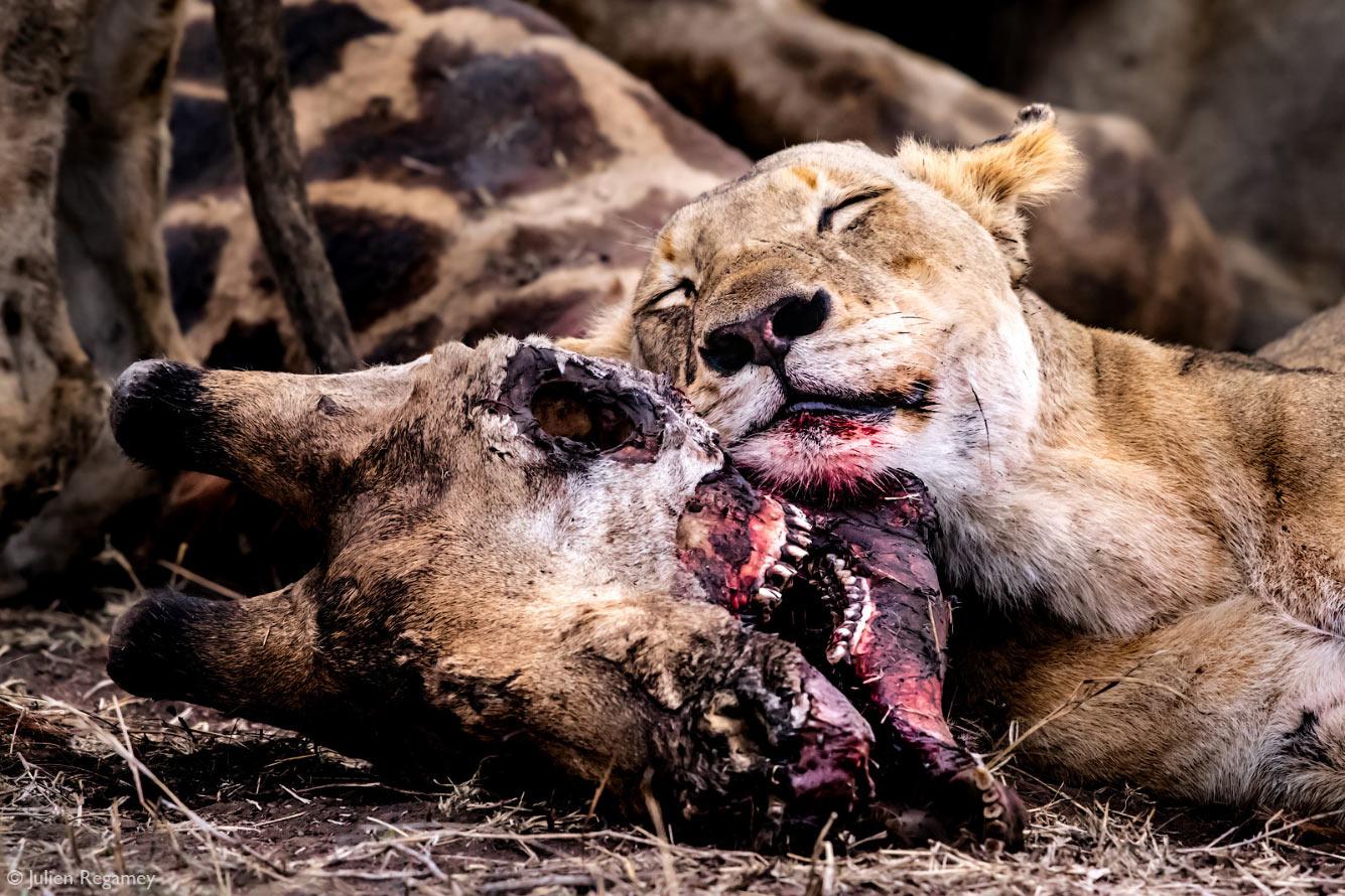 Львица в Национальном парке Крюгера