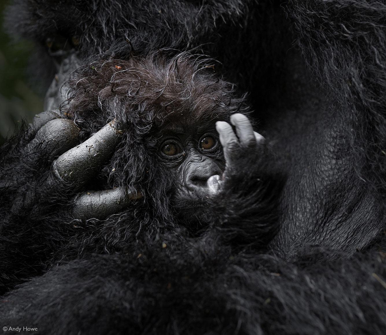 Крошечная горная горилла