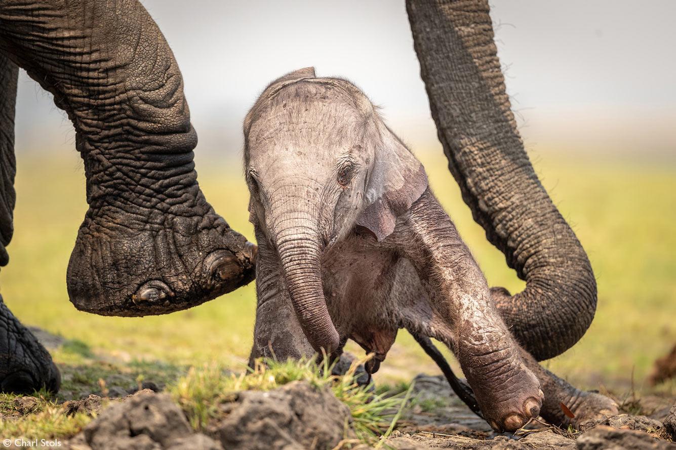 Неуклюжий слоненок