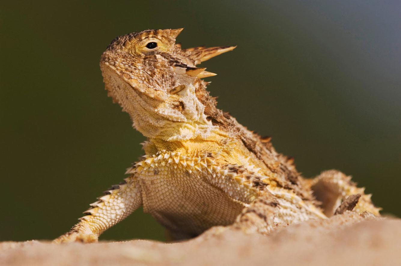 Техасская рогатая ящерица