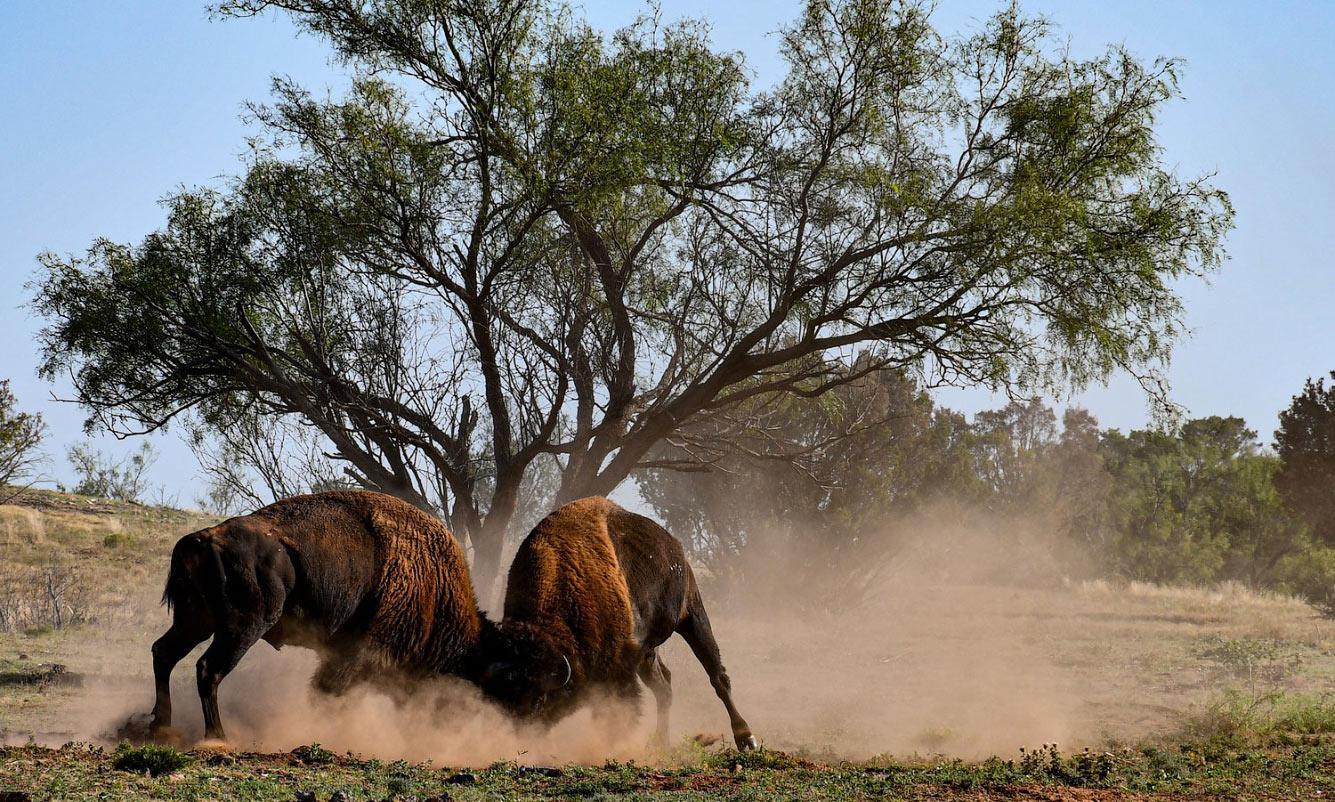 Бизоны в государственном парке Кэпрок-Каньон