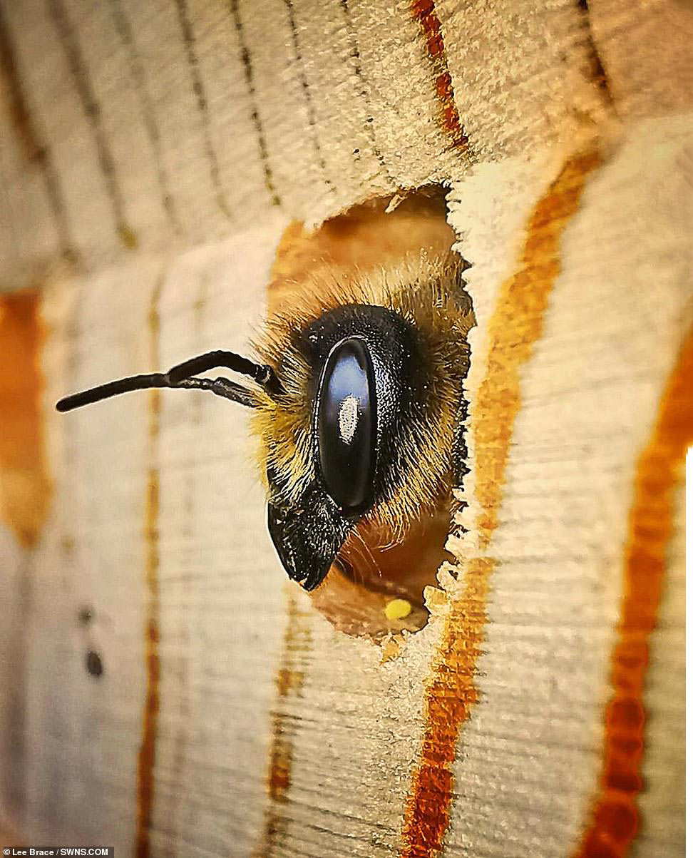 Люцерновая пчела-листорез
