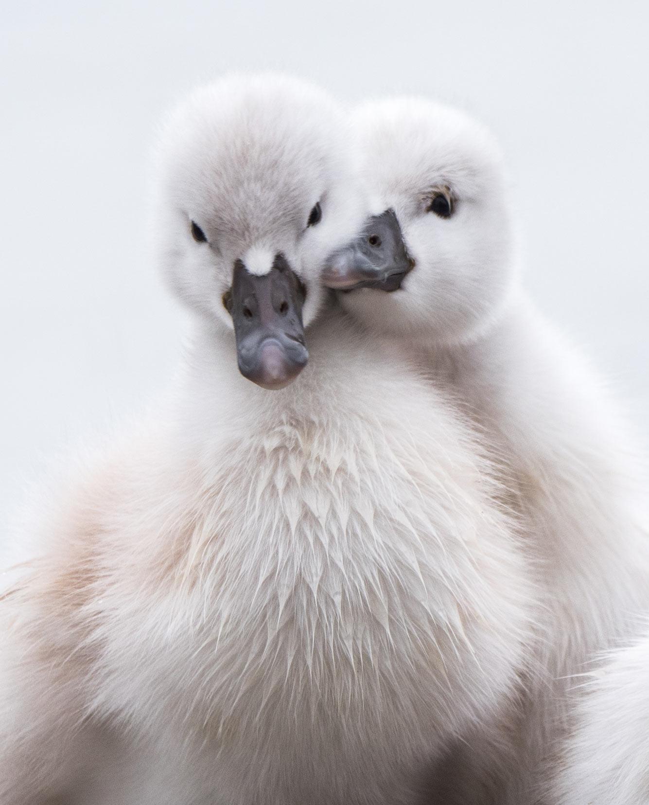 Пара маленьких лебедей