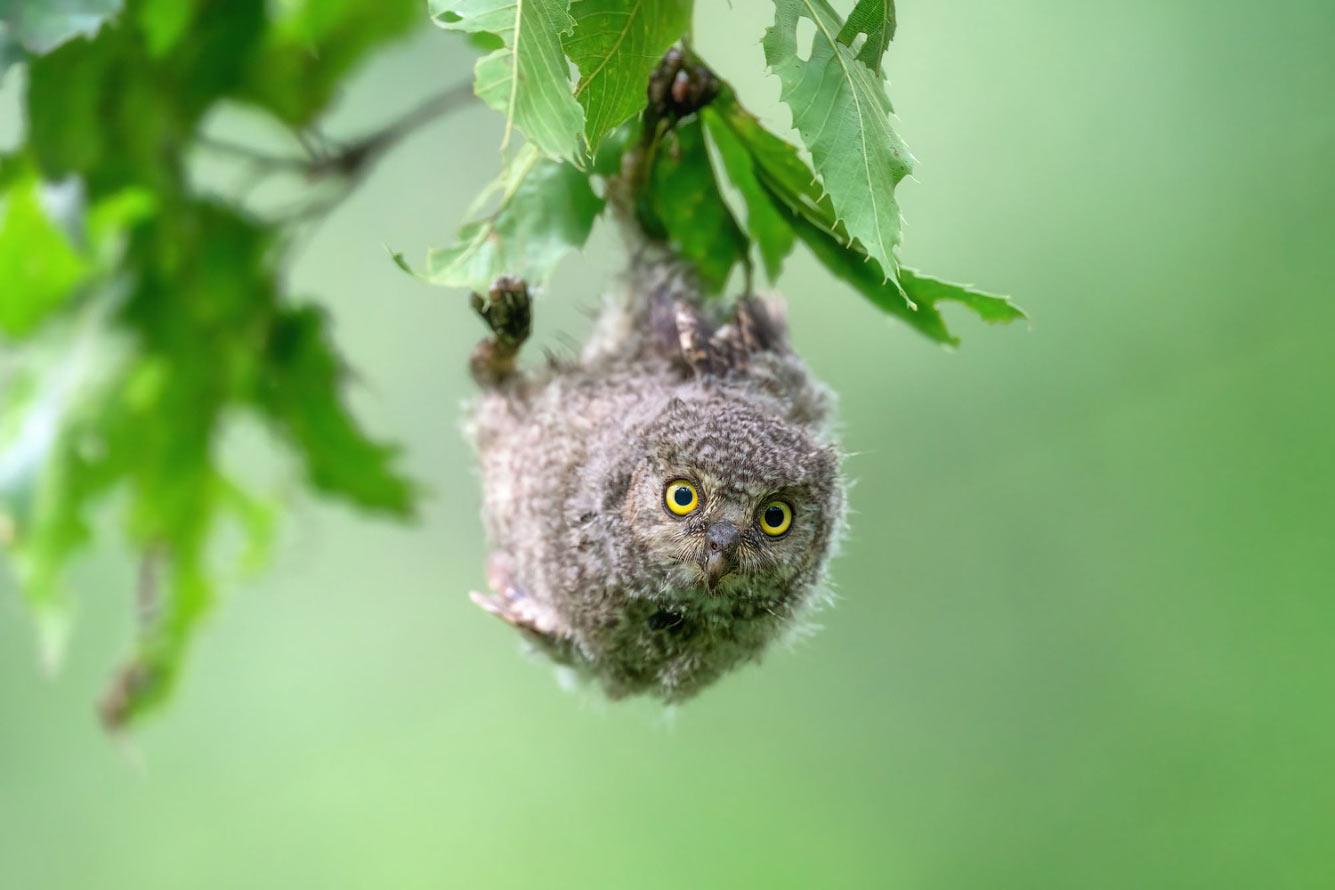 Сплюшка — ночная птица.