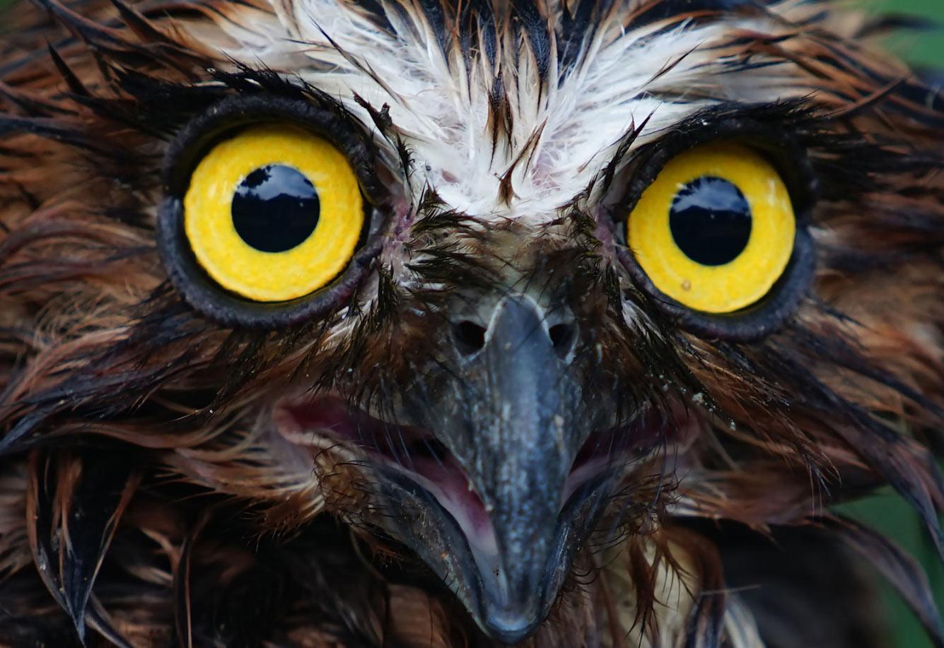 Суматранская сова