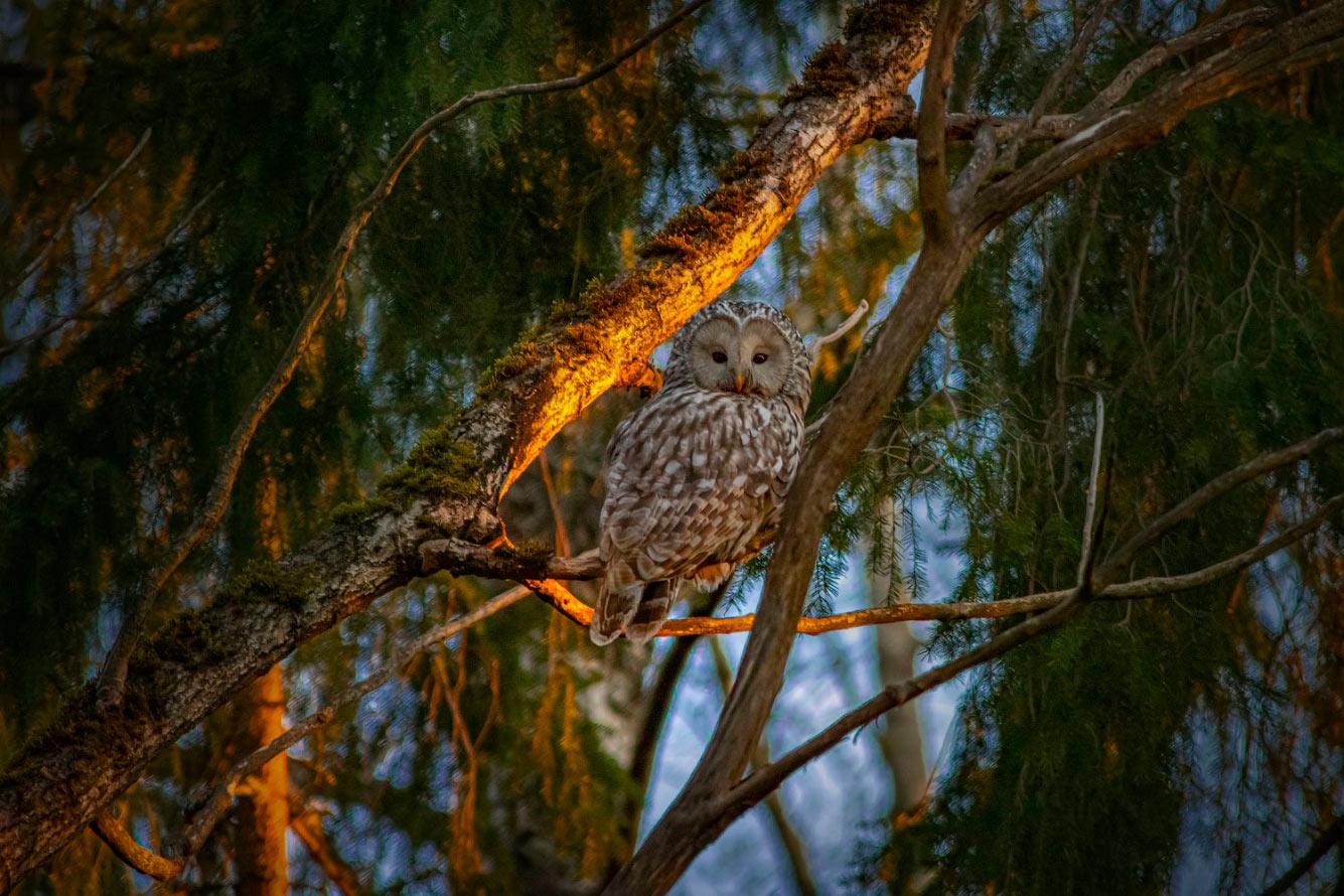 Уральская сова