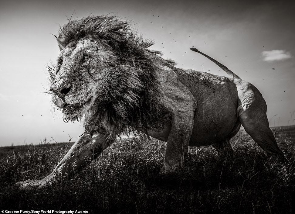 Этот снимок величественный  льва сделан в кенийском Масаи-Маре