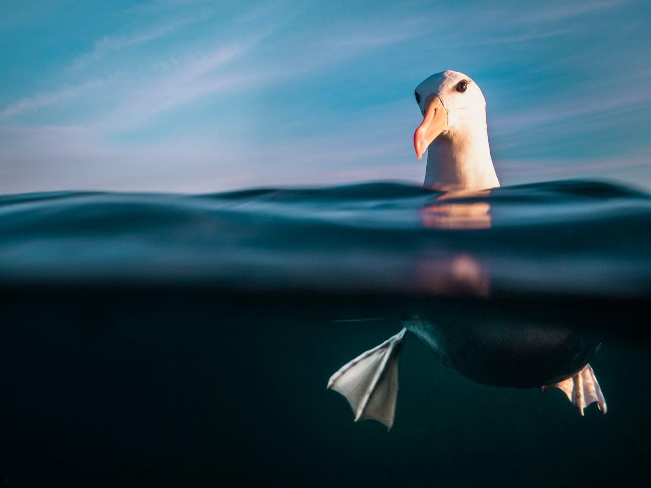 Чернобровый альбатро