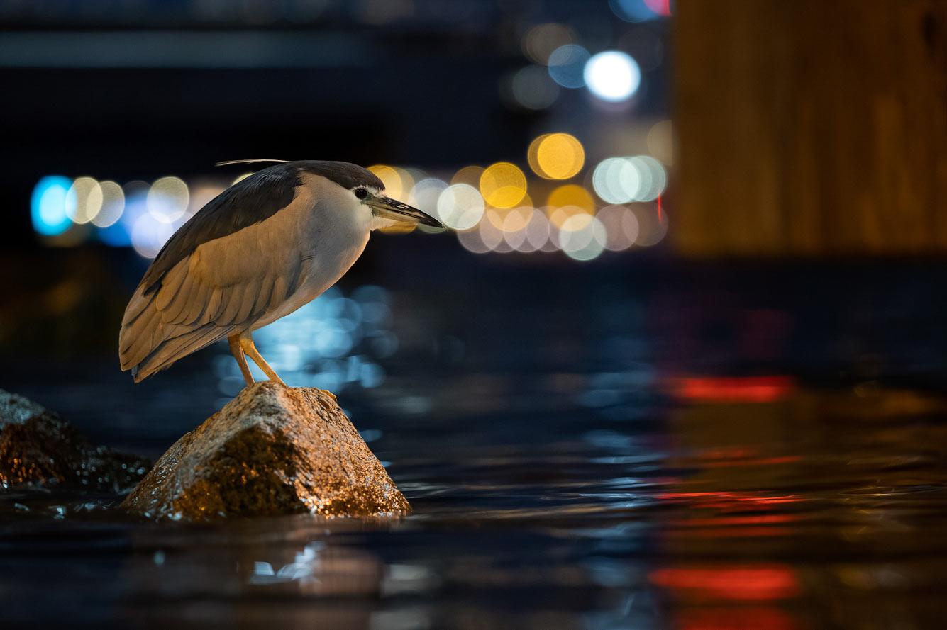 Обыкновенная кваква — птица семейства цаплевых