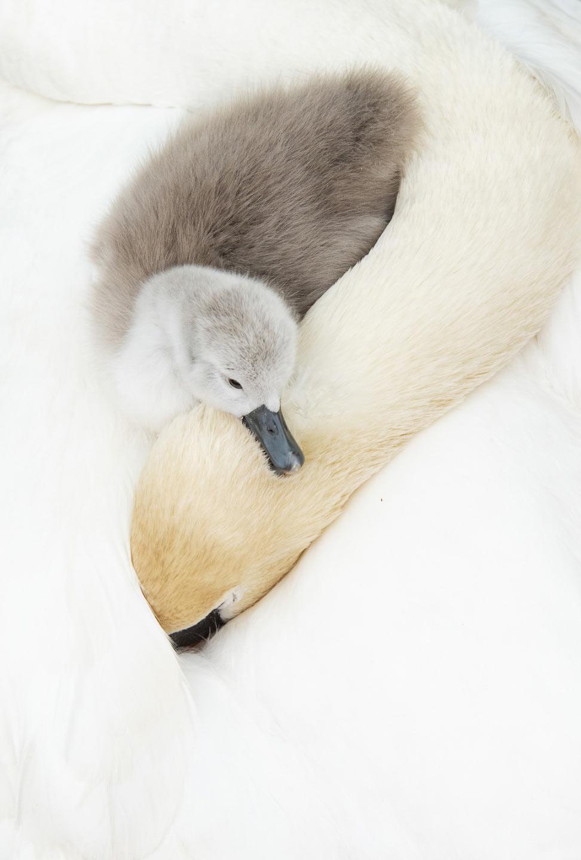 Лебеди в Дербишире, Великобритания
