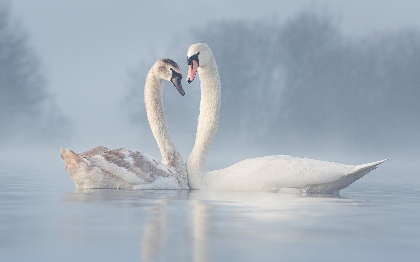 Пара лебедей в Ноттингемшире, Великобритания