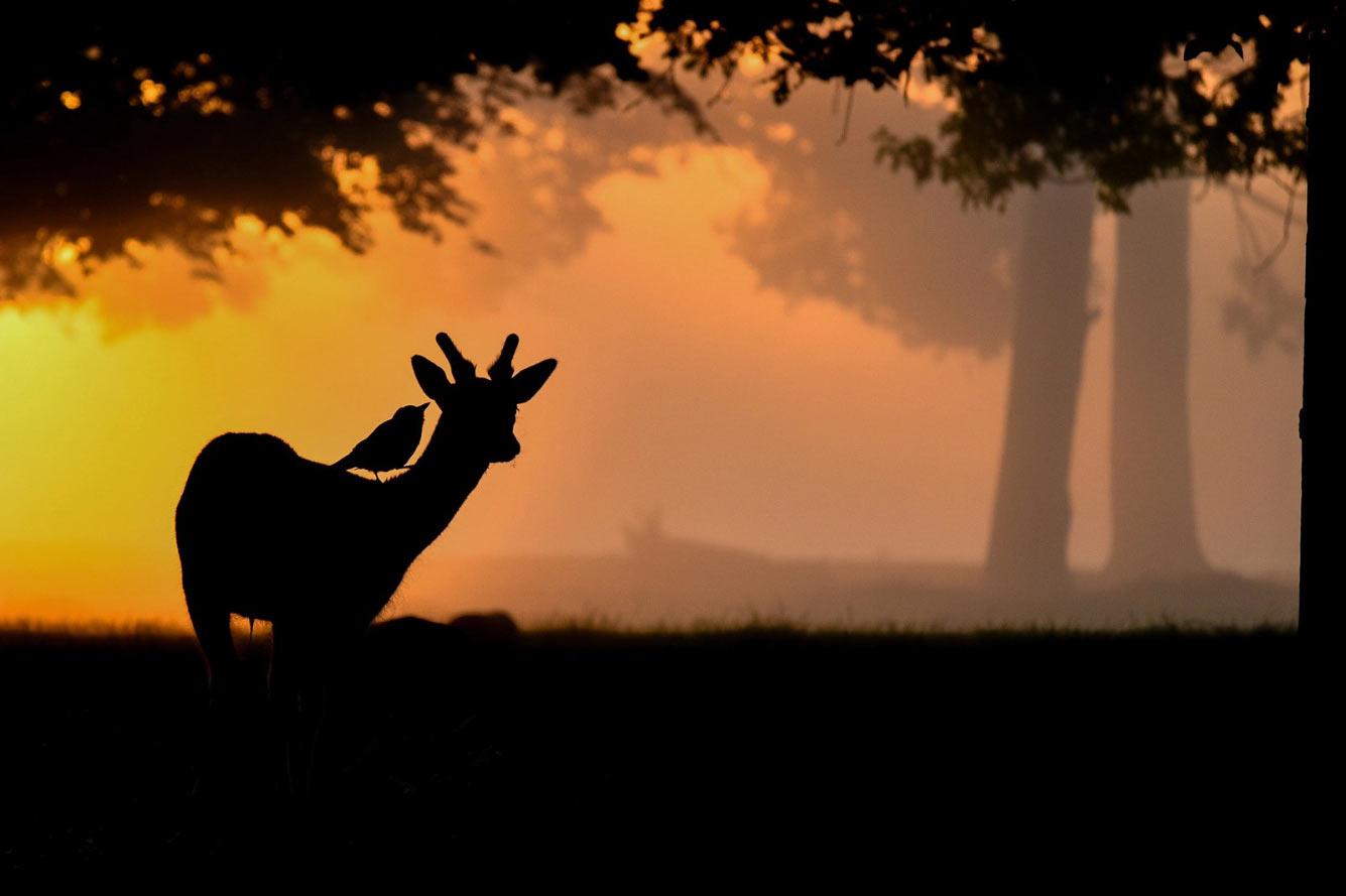 Галка сидит на олене в Буши-парке, Лондон