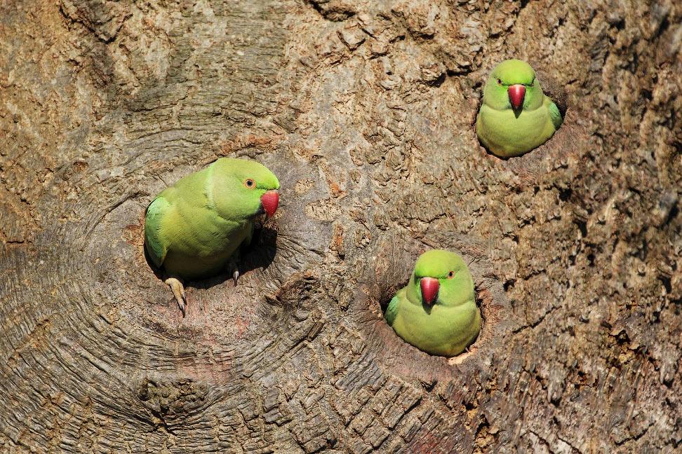 Попугаи выглядывают из дупел на дереве в Ричмонде, Англия.