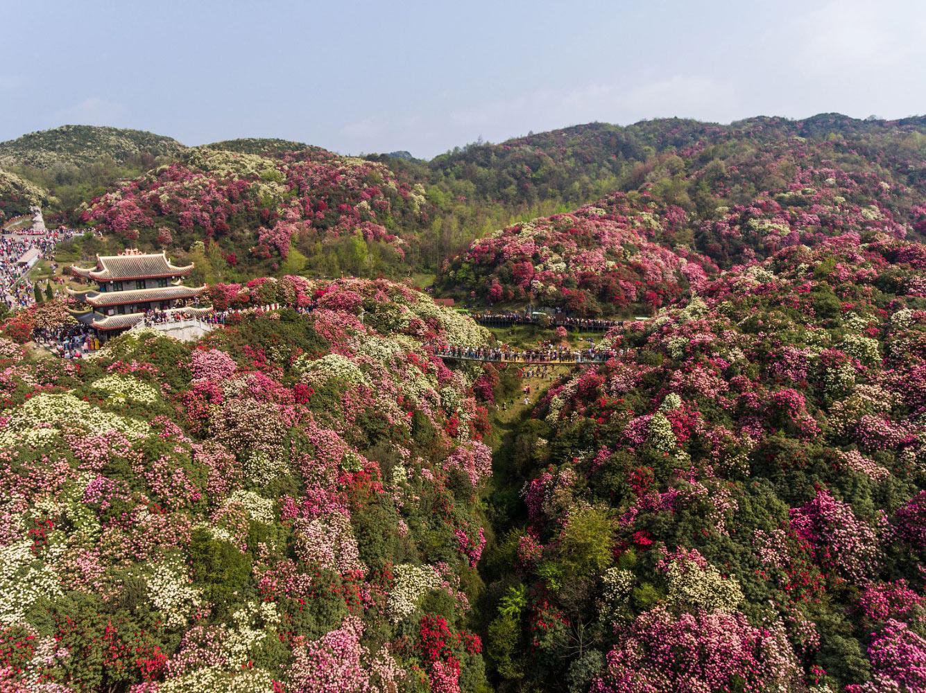 Цветение азалии в провинция Гуйчжоу, Китай