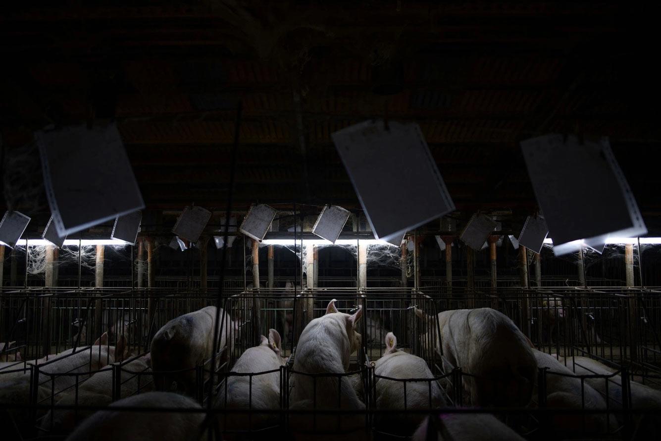Свиноферма в Арагоне, Испания