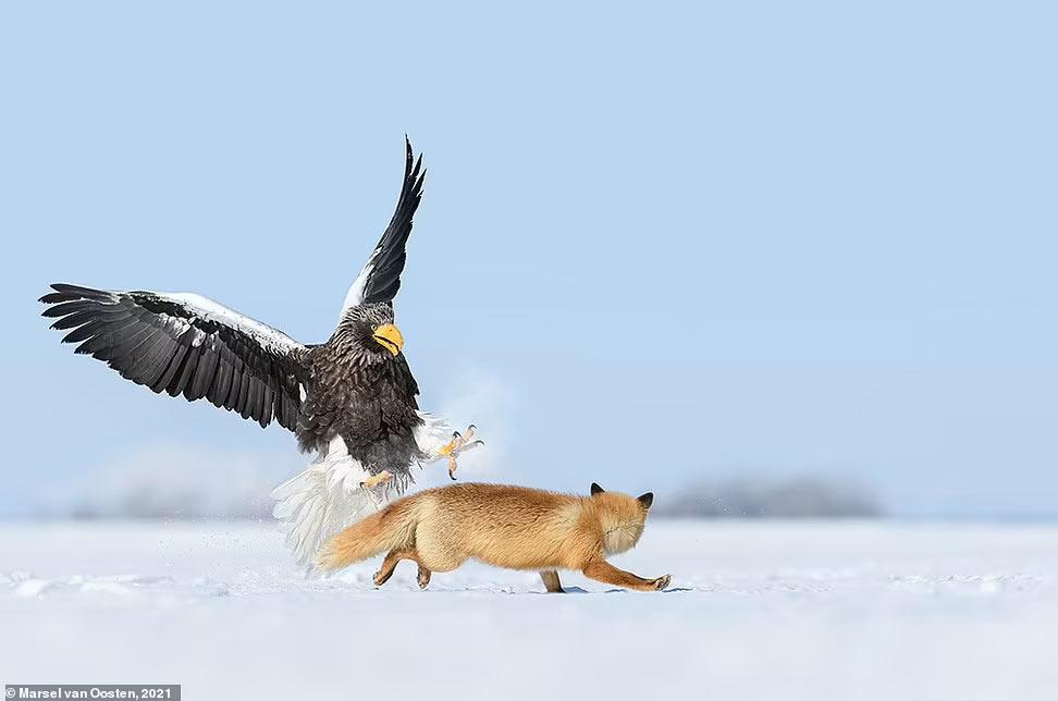 Орел шугает лису