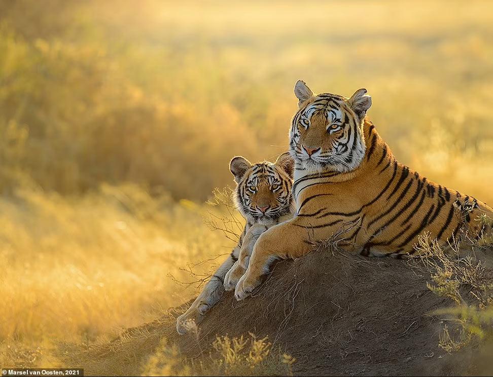 Тигриная семья