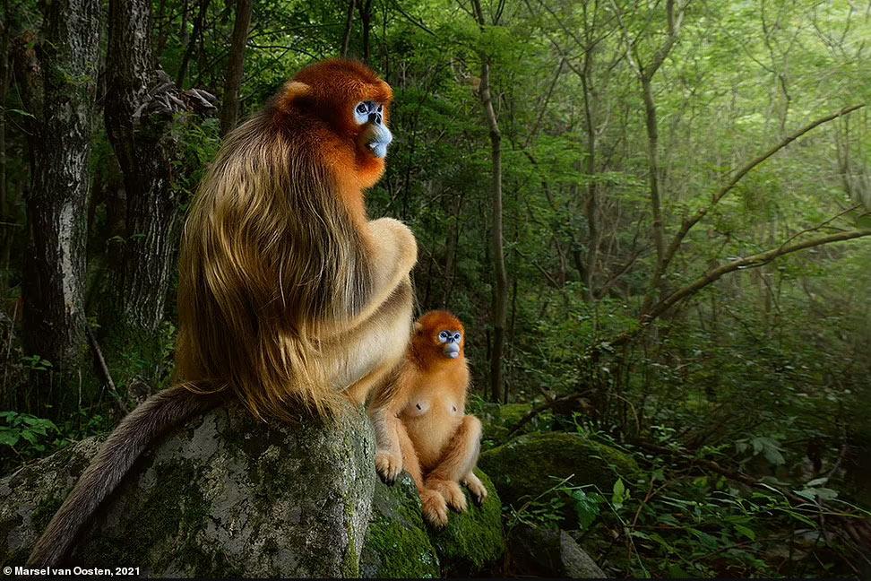 золотые курносые обезьяны