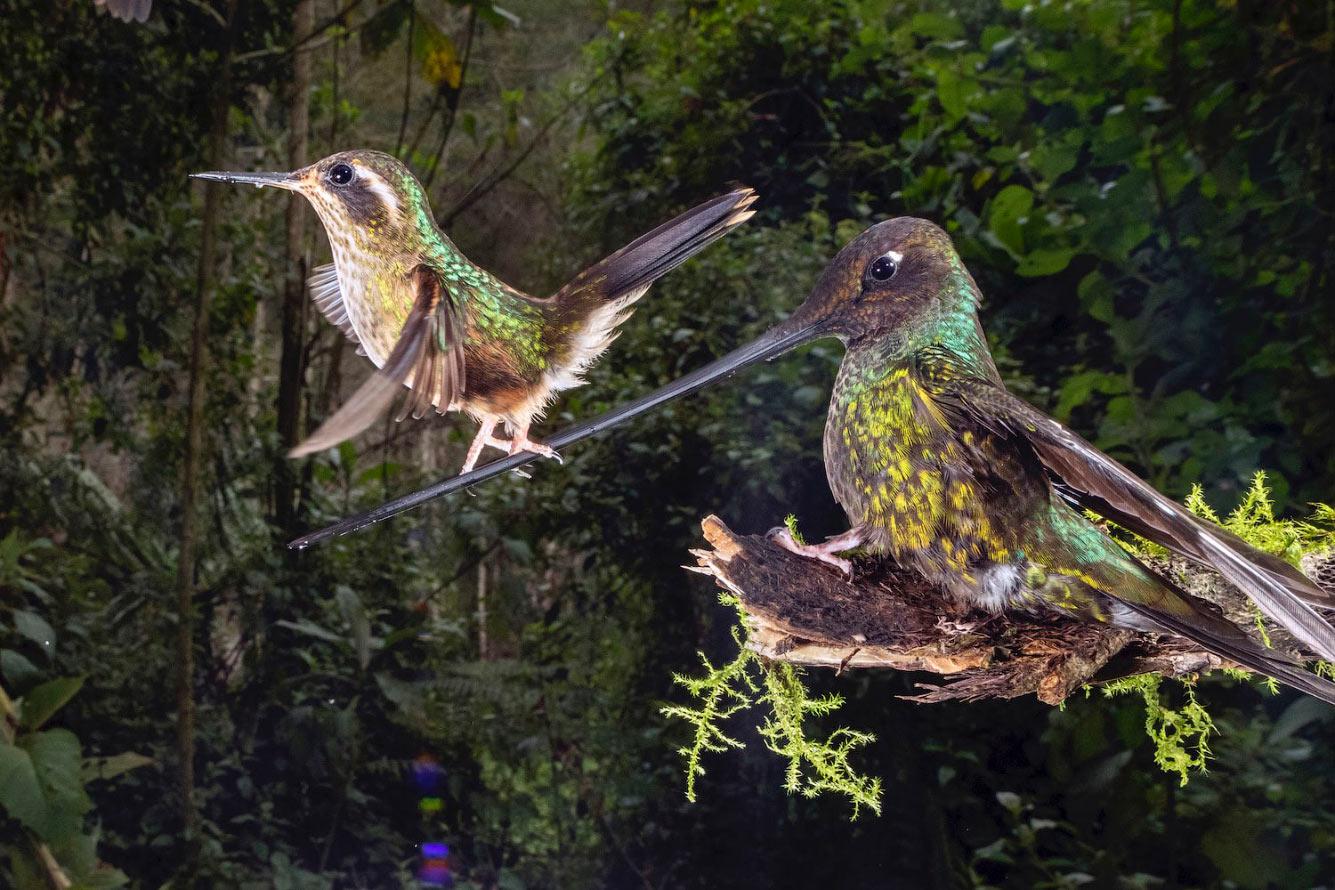 Маленькая колибри учится летать