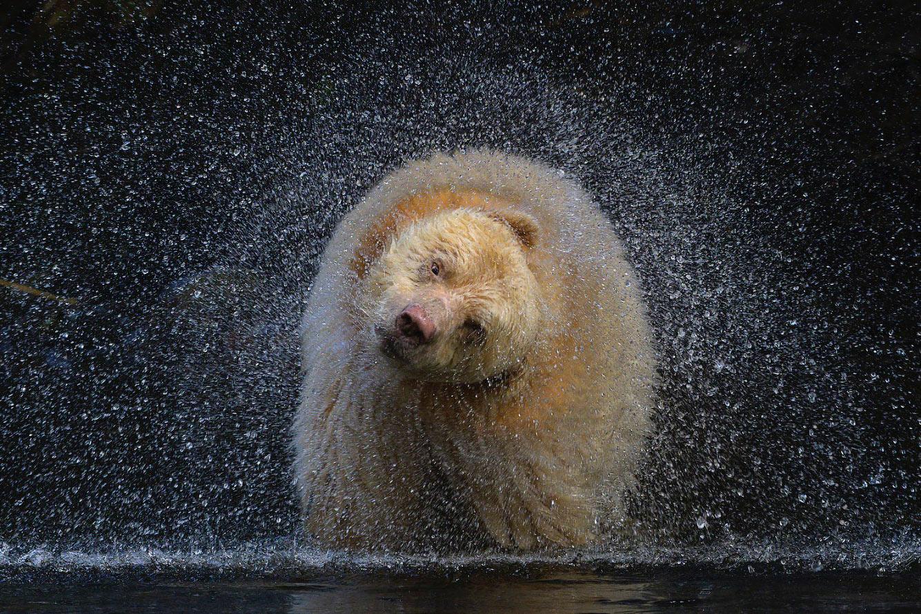 Медведь на отдаленном острове в северной части Британской Колумбии