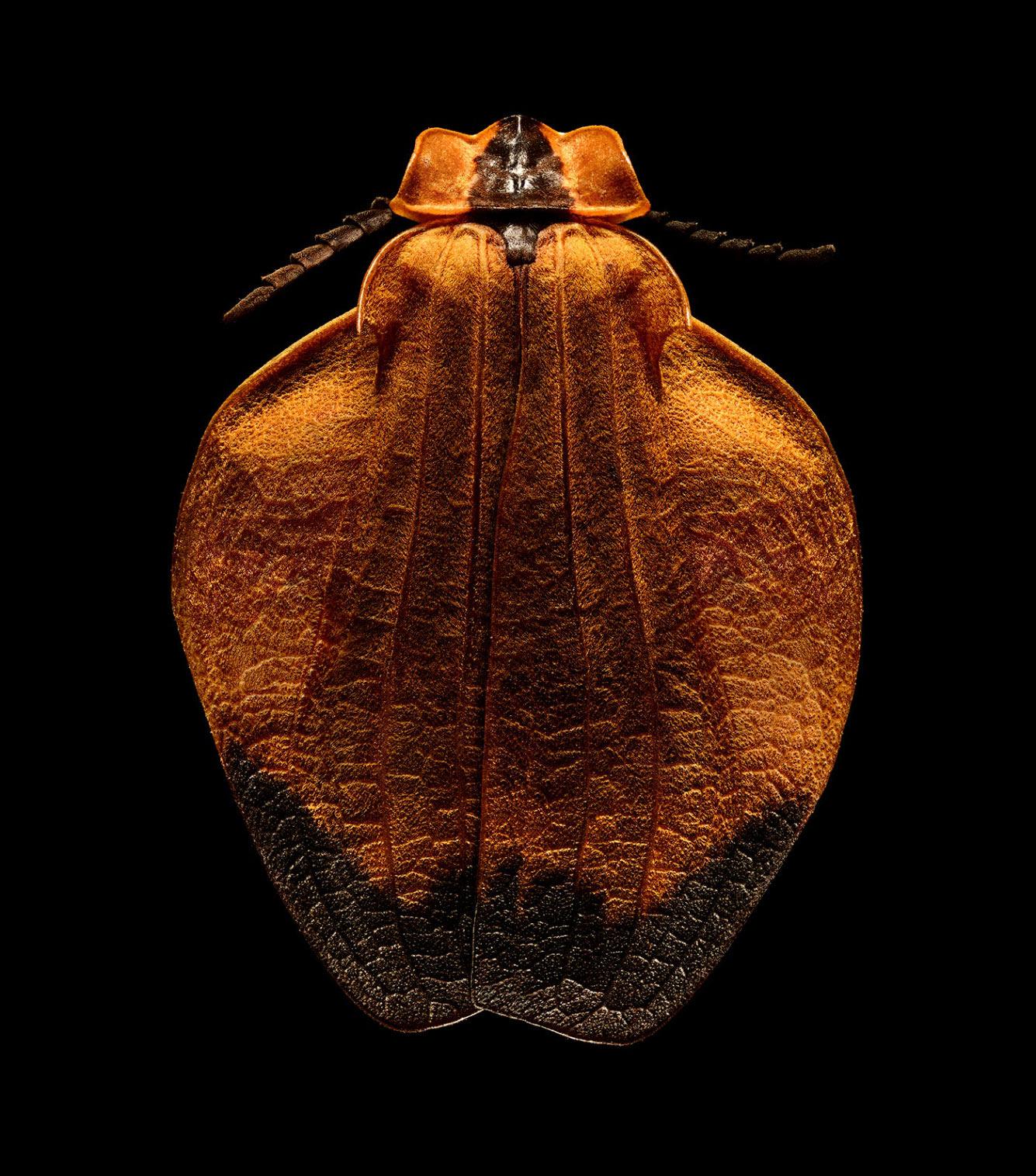 Orange-netted Winged Beetle