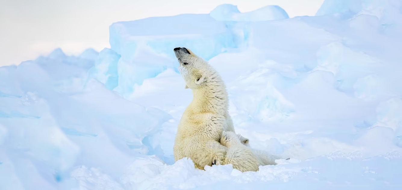 Снимок белого медведя с детенышем