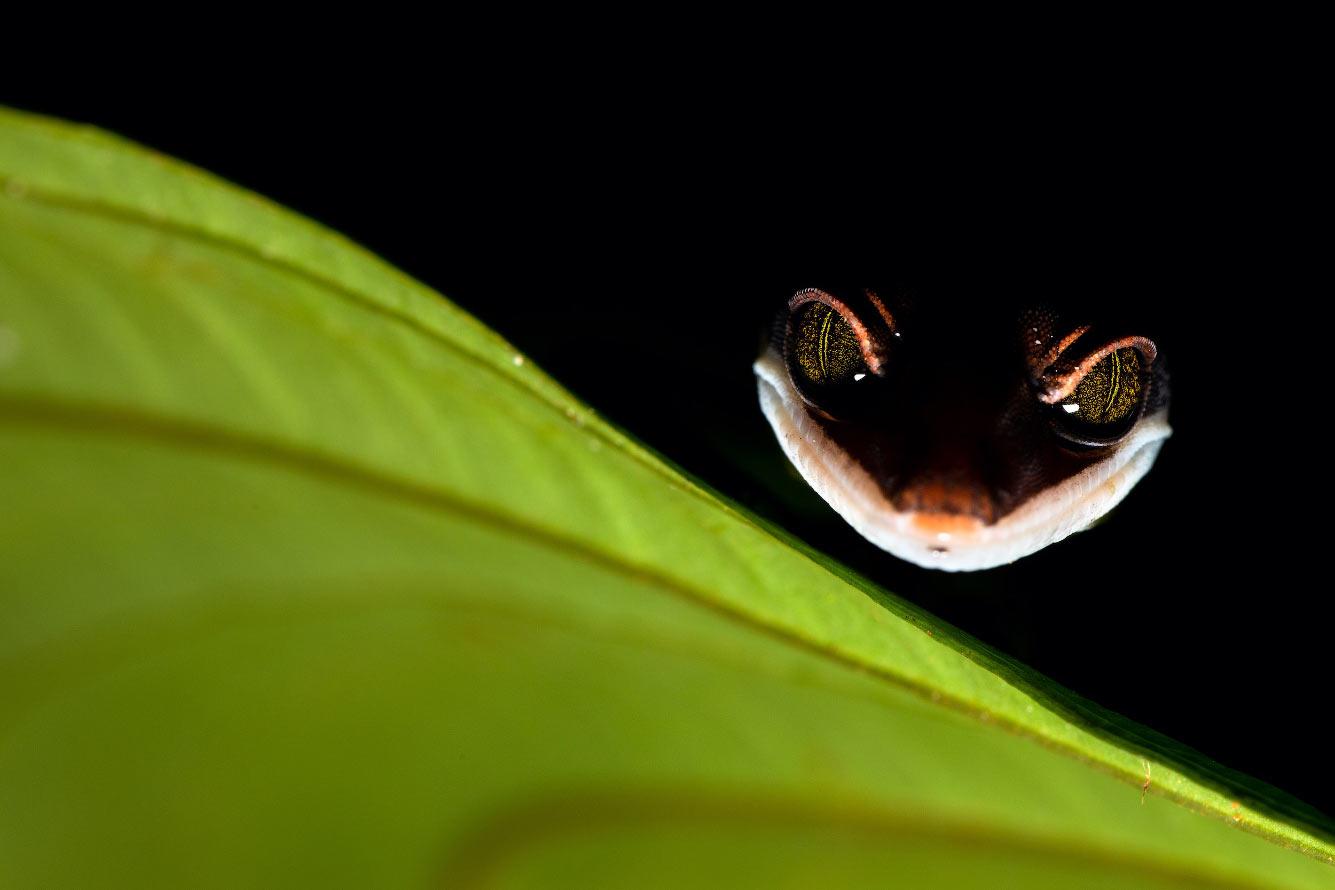 Кошачий геккон