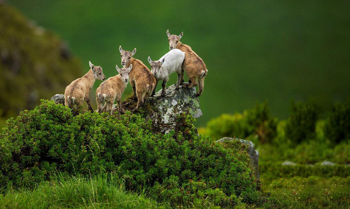 Козлики на зеленом склоне холма в Альпах