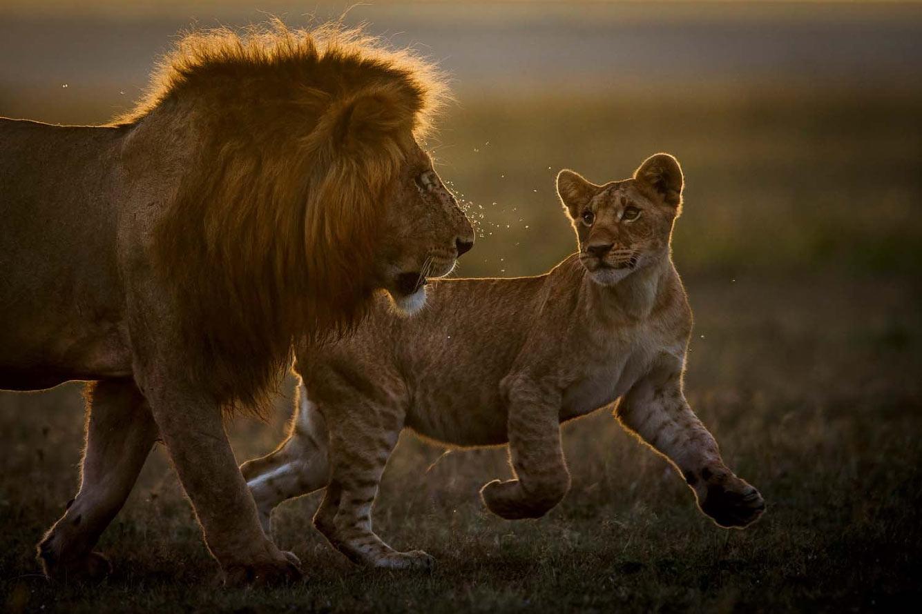 Папа и львенок