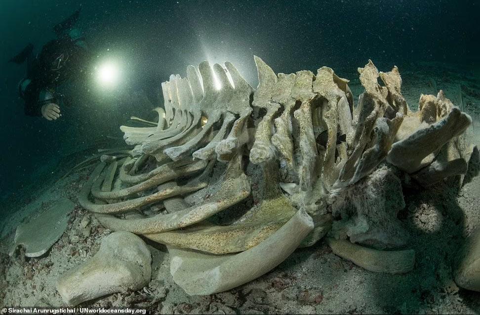 Скелет кита Брайда у острова Ко Хаа