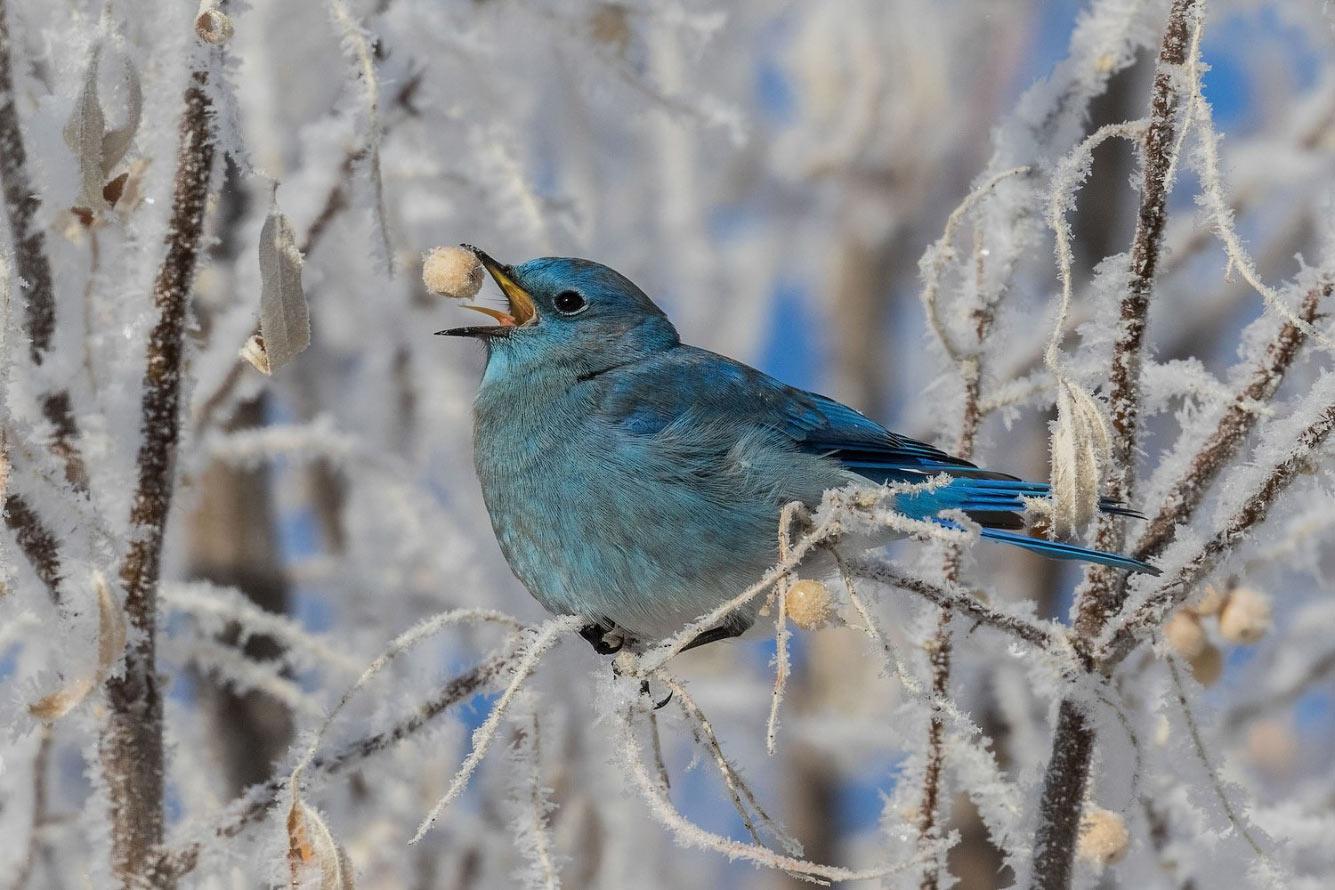 Горная синяя птица