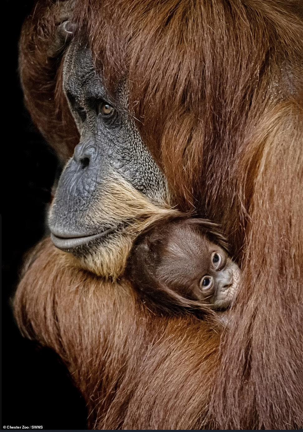 Суматранские орангутанги
