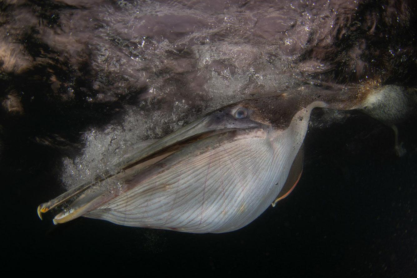 Подводный портрет ныряющего пеликана