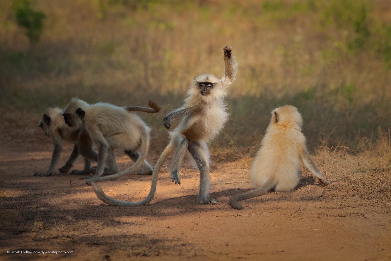 Танцы лангуров