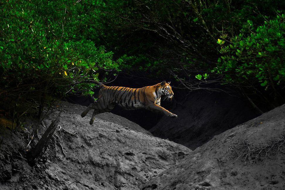 Неуловимый бенгальский тигр