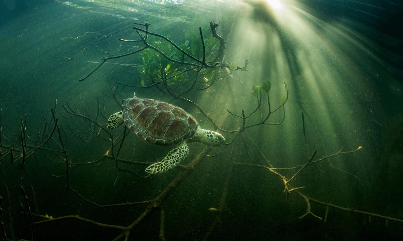 Зеленая морская черепаха укрывается в мангровых зарослях.