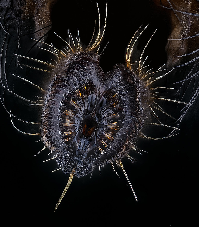 Хоботок комнатной мухи