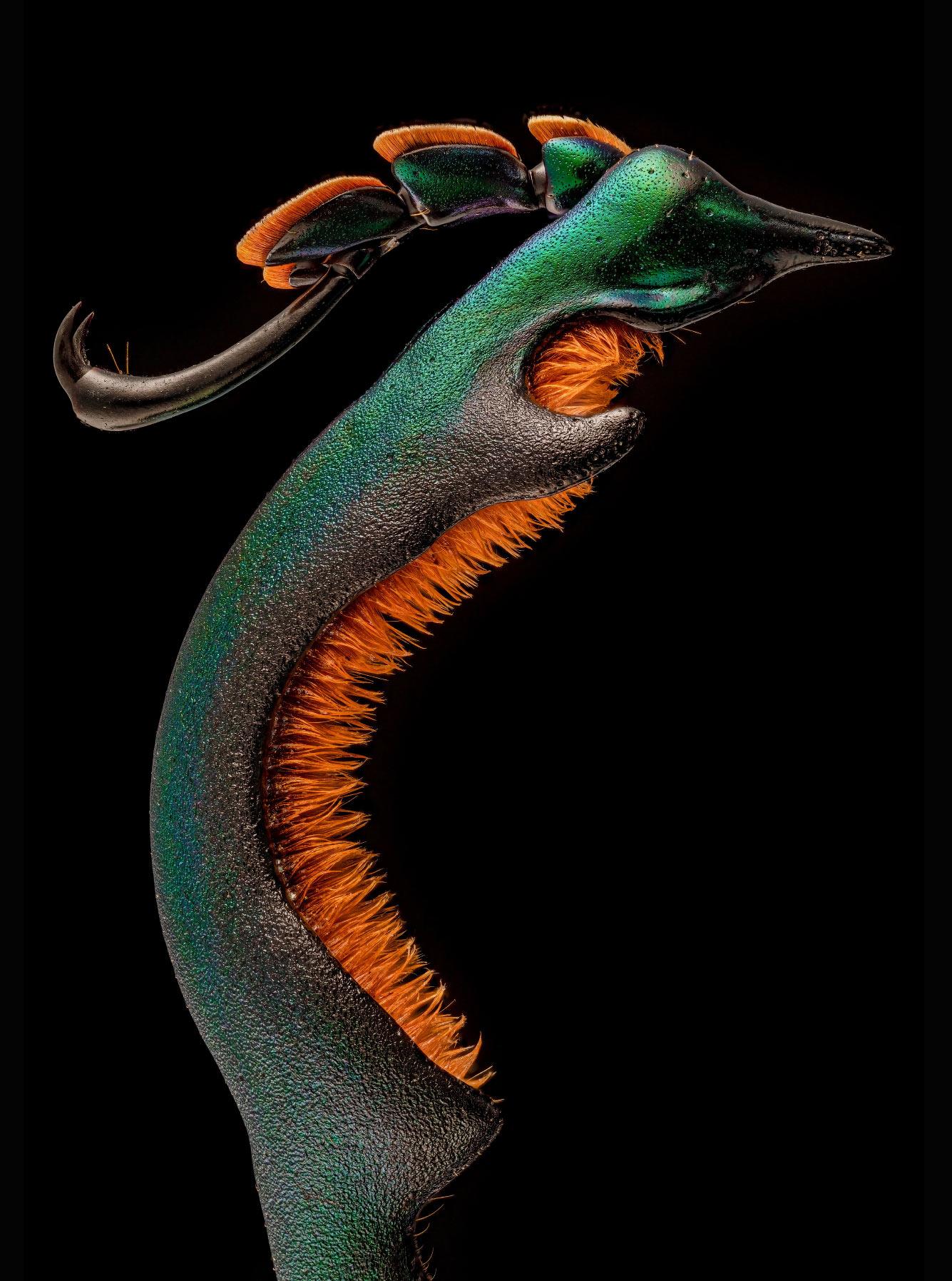 Задняя лапа самца лягушачьего жука