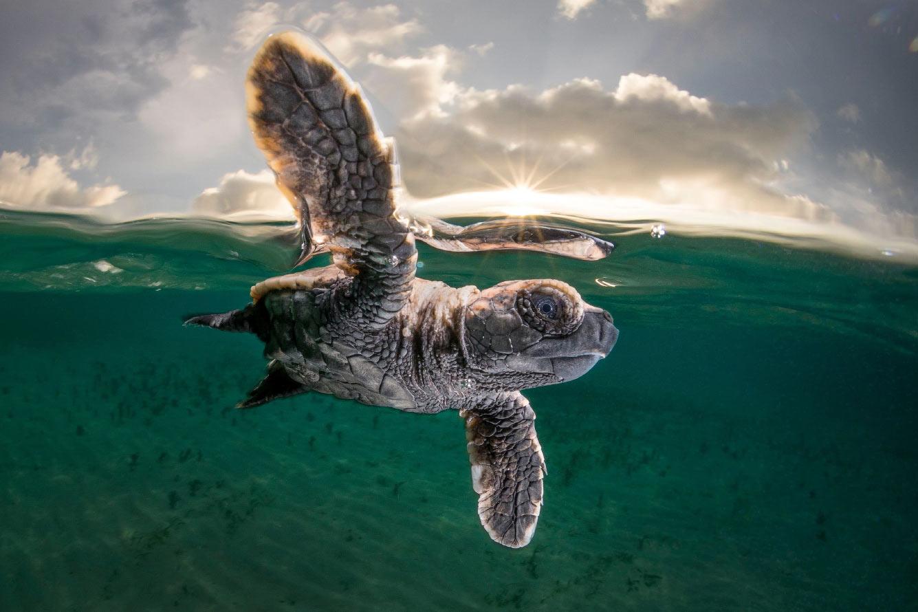 Детеныш черепахи впервые отправляется в море